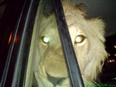 my friend's lion he was watching me when i toke this pic