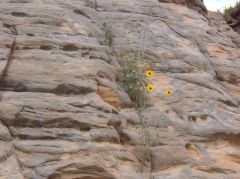 Sunflower Growing in Rocks - Lake Wilson, KS